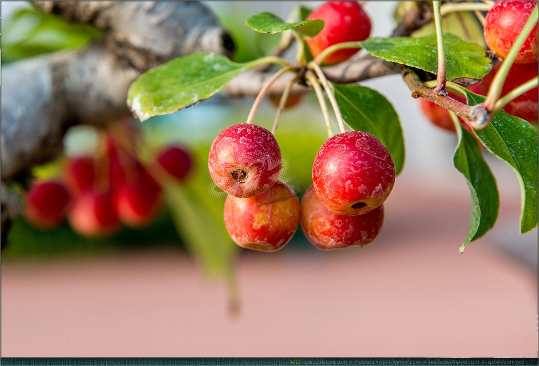 결실 - 30 (아그배나무, 아담스크랩애플, 산사나무)