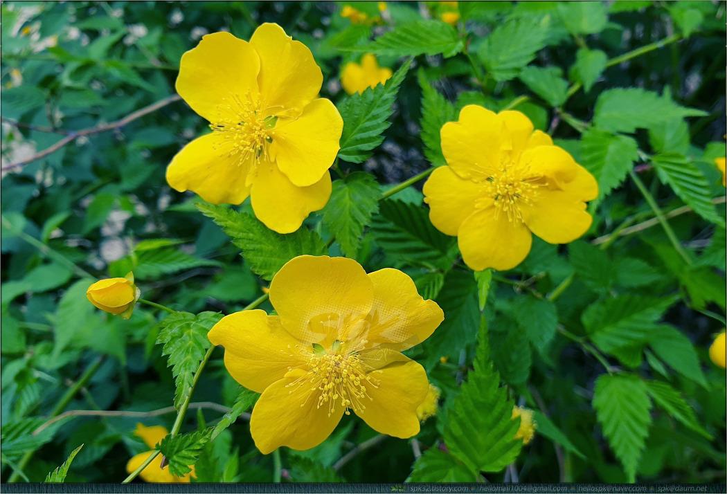 꽃 - 99 (황매화, 자주괭이밥, 박태기나무, 난초, 프렌치 라벤더)