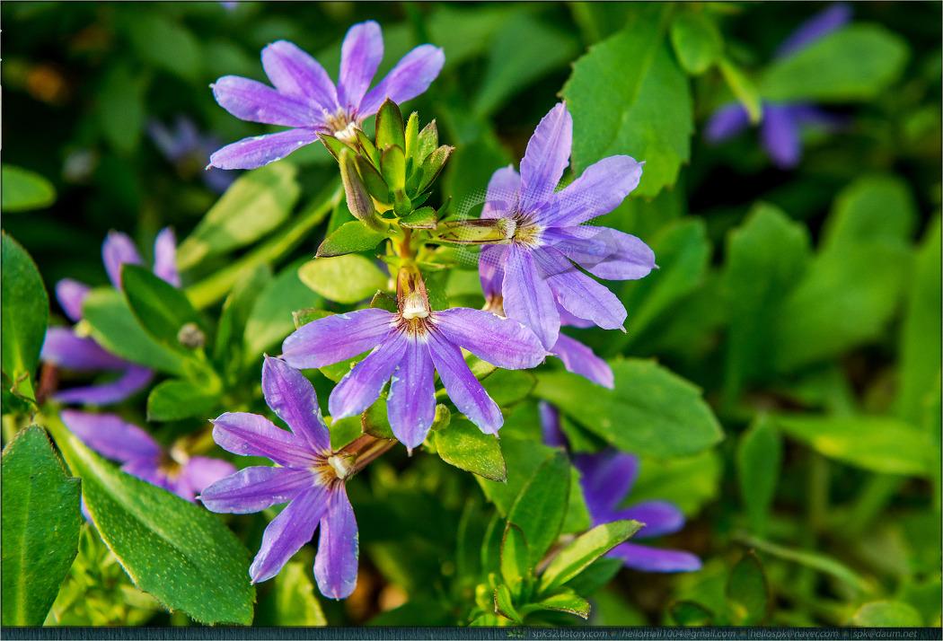 꽃 - 116 (물아카시아, 용담, 팬플라워, 물칸나)