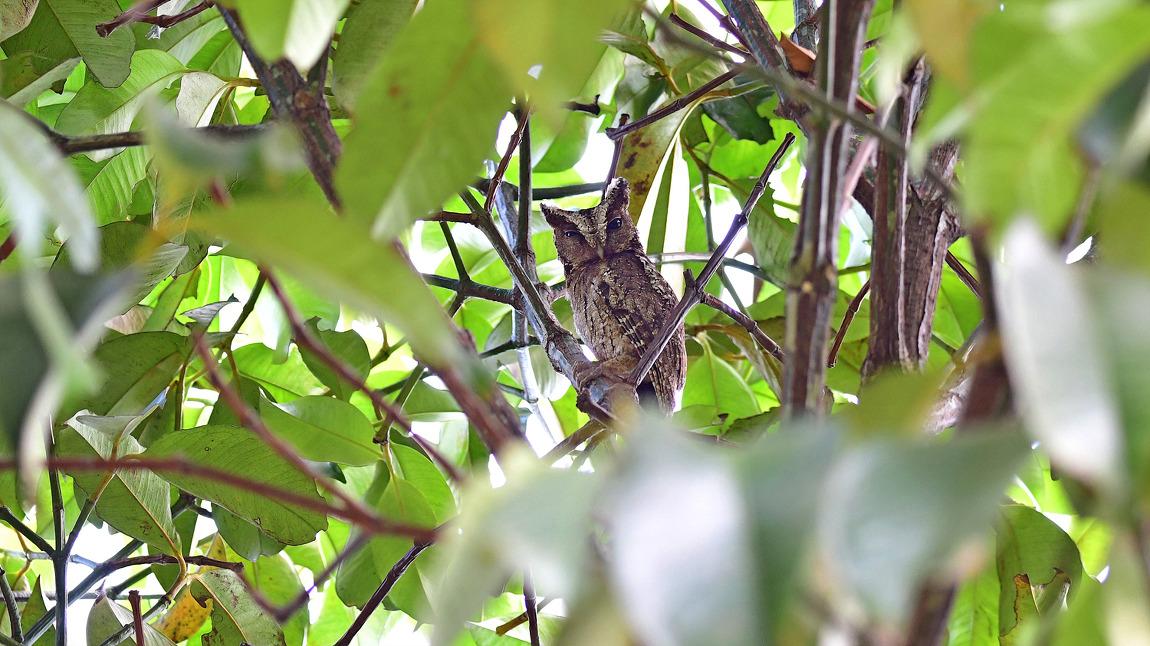 Sunda Scops Owl[rufous morph], 20cm