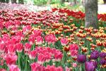 [서울숲 / 튤립가든] 서울숲, 늦은 봄에 만난 튤립 정원 2019