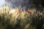 보리밭 양귀비꽃,