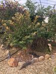 구아바잎 차를 수확하는 이른 봄, 아직도 과일이...