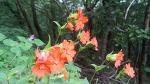 [지리산 야생화] 7~8월에 피는 야생화 동자꽃, 지리산 노고단 산행길에서 만난 동자꽃 꽃말은 정열
