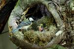 올림픽공원 숲의 박새(great tit) 육추