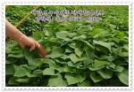 신선한 고구마모종 판매중~ 달달한 해남고구마를 직접 재배해보세요~!