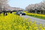 유채꽃과 벚꽃이 만발한 표선 녹산로, 유채꽃명소
