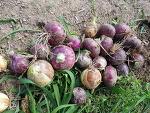 유기농 양파 수확중