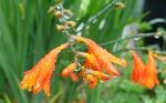 [야생화] 7월~8월에 피는 야생화 애기범부채, 애기범부채꽃말은 청초