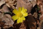 팔공산 가산산성  복수초 군락지-복수초 꽃을 피우다