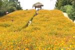 10월 가볼만한 곳, 올림픽공원 들꽃마루 노랑코스모스 장미광장 장미