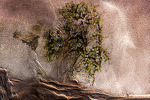 모래고목나무