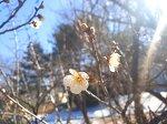 [갯돌소리전복] 벌써 매화가! 봄날이 온 기분~~ 봄봄봄~~ 올해 벚꽃개화시기는 언제쯤일까요~~?