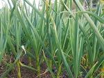무농약 유기농 마늘쫑 수확이 다가옵니다