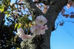 왕겹벚꽃(핑크색)