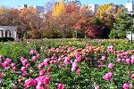 올림픽공원 가을풍경, 가을장미