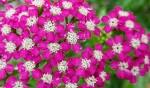 [야생화] 7~8월에 피는 야생화 톱풀(가새풀), 톱풀꽃말은 지도