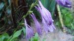 [야생화] 죽풍원에 핀 7~8월에 피는 야생화 비비추, 비비추 꽃말은 좋은 소식, 신비로운 사람, 하늘이 내린 인연