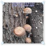 표고버섯 추천! 장흥표고버섯! 신선한 표고버섯을 주문해보세요!