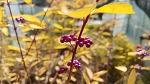 [작살나무 꽃말] 보라빛 열매가 아름다운 좀작살나무, 작살나무와 좀작살나무 차이