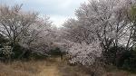 벚꽃엔딩 서항마을