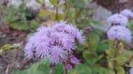[가을꽃 종류] 죽풍원에 핀 아게라텀, 정원에 심기 좋은 꽃 아게라텀 꽃말은 '신뢰'