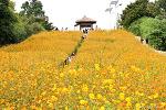 올림픽공원 들꽃마루 코스모스, 노랑코스모스