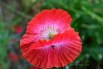 올림픽공원 들꽃마루 꽃 양귀비, 수레국화