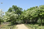 흰눈이 내렸다-대구 달성 이팝나무 (군락지)