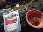 유기농으로 키울 레드 비트 파종 그리고 효능 먹는법