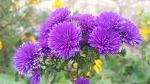 [정원에 심는 꽃] 죽풍원에 핀 국화과에 속한 아스타, 아스타 꽃말은 추억과 신뢰