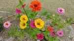 [정원에 심는 꽃] 100일 동안 붉게 피는 정원에 심기 좋은 꽃, 백일홍 이야기와 백일홍 꽃말
