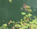수생식물 연꽃과 수련