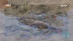 [마을풍경] 정왕동 군자천에 물고기들이...