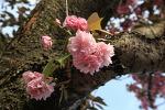 왕겹벚꽃(왕벚꽃)