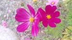 [정원에 심는 꽃] 죽풍원에 핀 늦가을 코스모스가 참 아름답습니다