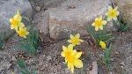[행복찾기] 거제도 공고지에서 가져 온 봄을 상징하는 수선화, 수선화 꽃말은 신비, 자존심, 고결