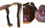 영지버섯효능 및 성분