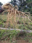 [도라지 가격] 기백산 최적의 환경에서 재배한, 거창 마리 토종 도라지 판매 하는 곳