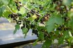 [블랙커런트 효능] 죽풍원의 블랙커런트 수확시기와 블랙커런트 먹는 방법입니다