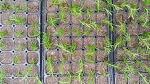 [로즈메리 효능] 건강 식물인 허브, 로즈마리 삽목 시기와 로즈마리 삽목 방법은?
