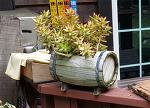 [다육식물 사진] 함양 용추사 입구 펜션에서 키우는 다육식물의 다양한 모습
