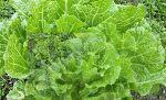 7월 8월에 심는 작물 채소 및 배추효능