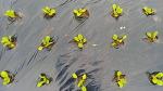 [농사일기] 지난해 보다 12일이나 빠른, 무 씨앗 파종과 김장배추 모종 심는 시기