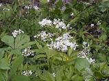 미나리냉이 꽃