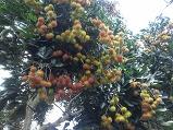 호치민 람부탄 열대..