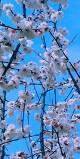 원동 매화마을 봄마..