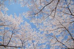 전남 광양시 백운대 벚꽃놀이