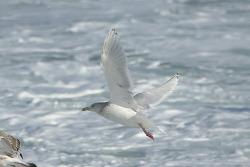Hybrid Gulls - Glaucous Gull X Vega Gull