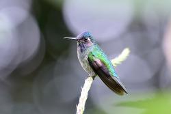 Violet-headed Hummingbird, 8cm